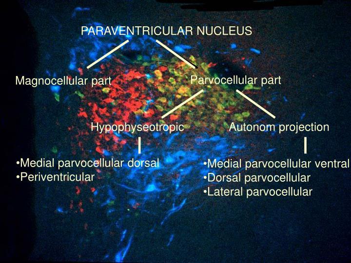 PARAVENTRICULAR NUCLEUS
