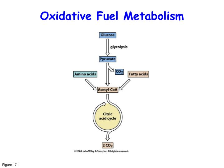Oxidative Fuel Metabolism