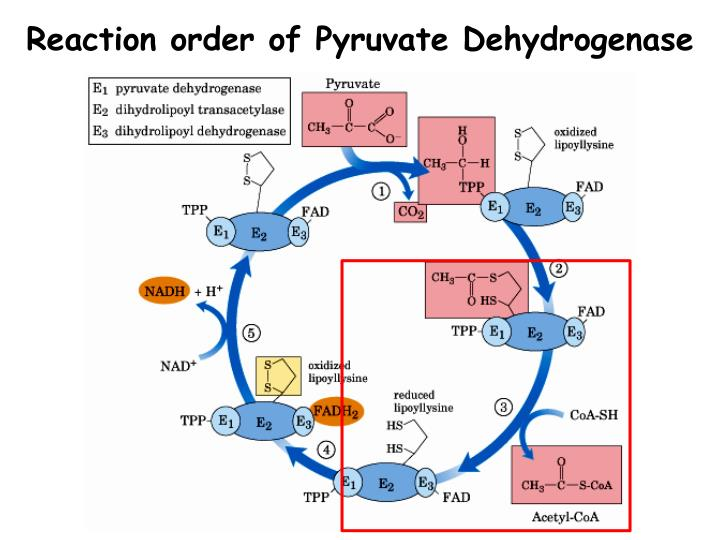 Reaction order of Pyruvate Dehydrogenase
