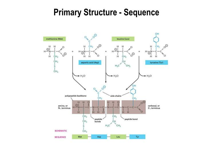 Primary structure sequence