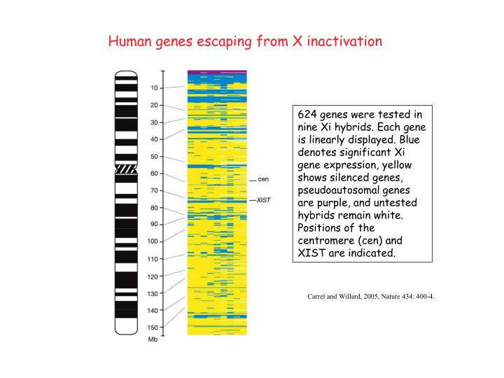 Human genes escaping from X inactivation