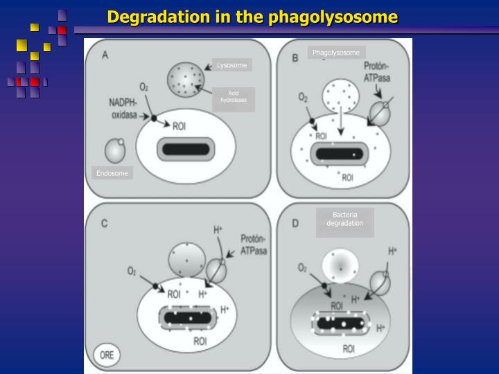 Degradation in the phagolysosome