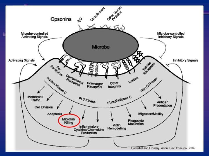 Underhill and Ozinsky. Annu. Rev. Immunol. 2002