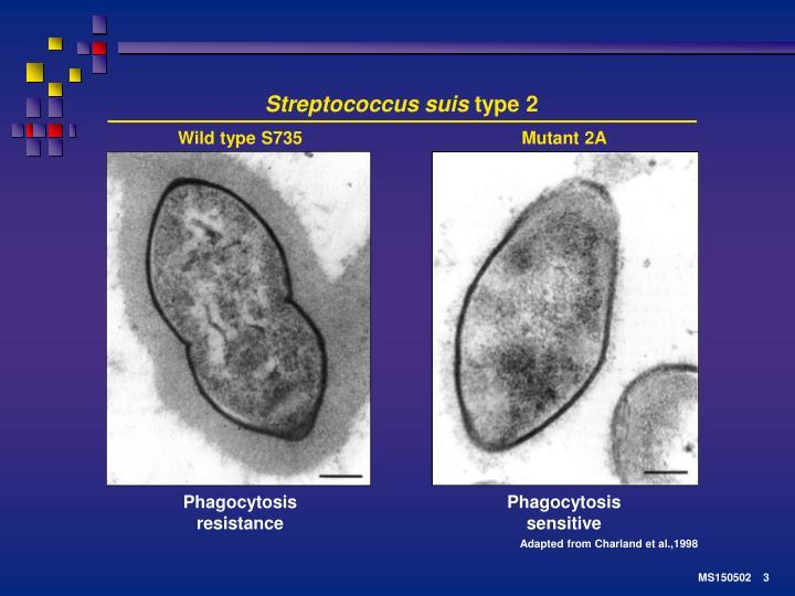 Streptococcus suis