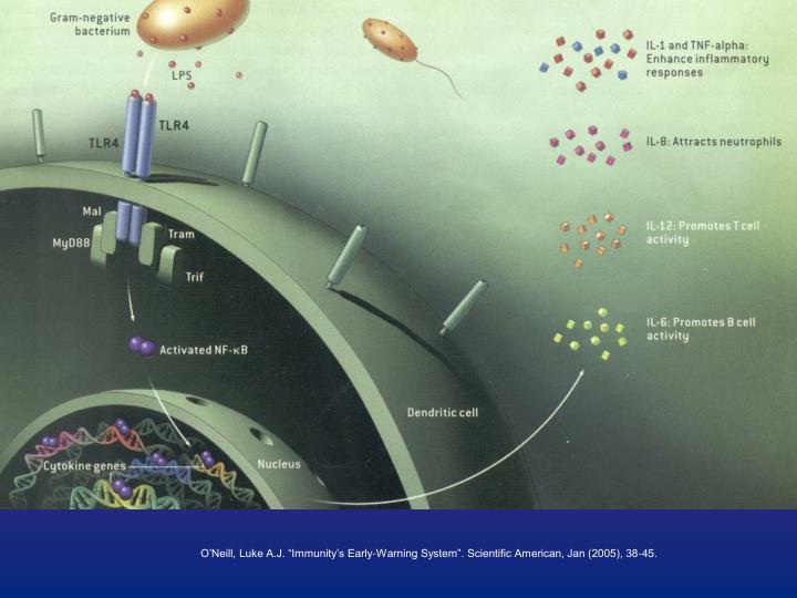 """O'Neill, Luke A.J. """"Immunity's Early-Warning System"""". Scientific American, Jan (2005), 38-45."""