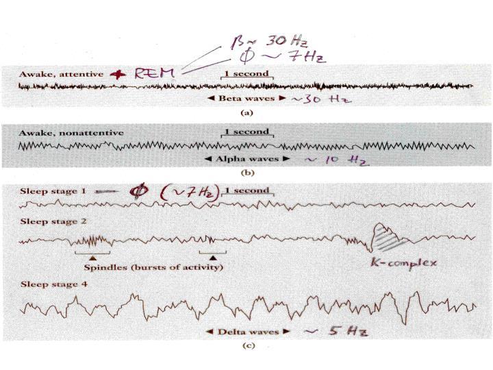 Circadian rhythm suprachiasmatic n of hypoth entrainment