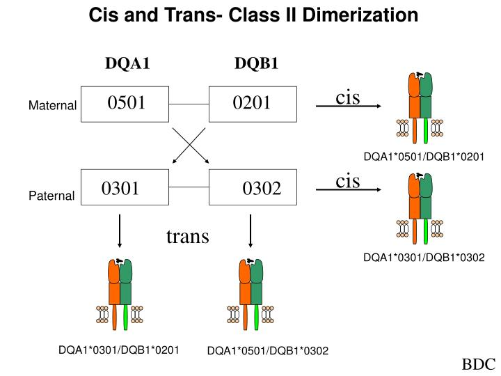 Cis and Trans- Class II Dimerization