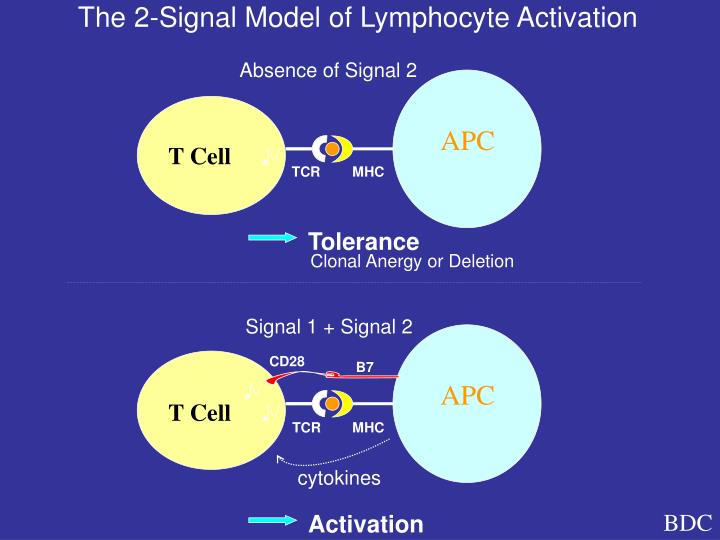 The 2-Signal Model of Lymphocyte Activation