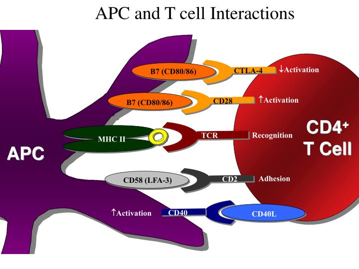 APC and T cell Interactions