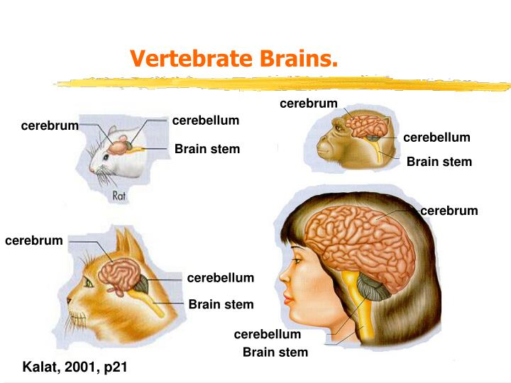 Vertebrate Brains.