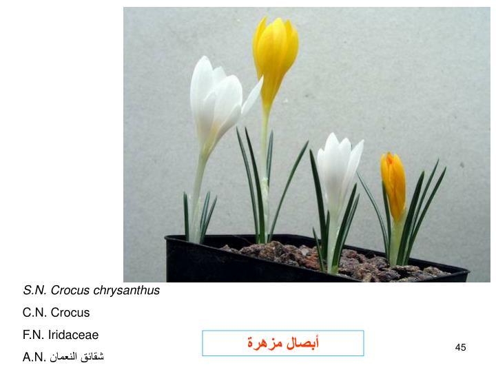 S.N. Crocus chrysanthus