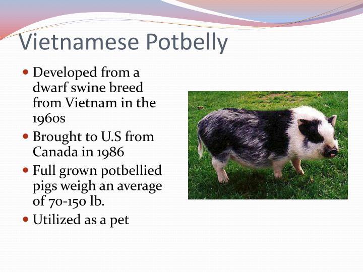 Vietnamese Potbelly
