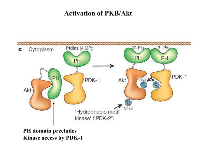 Activation of PKB/Akt