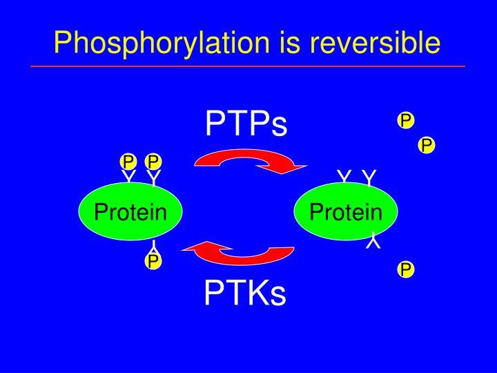 Phosphorylation is reversible
