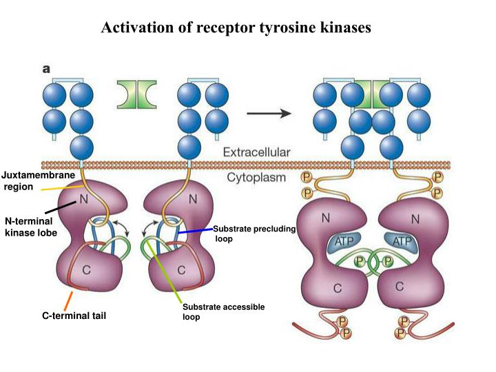 Activation of receptor tyrosine kinases