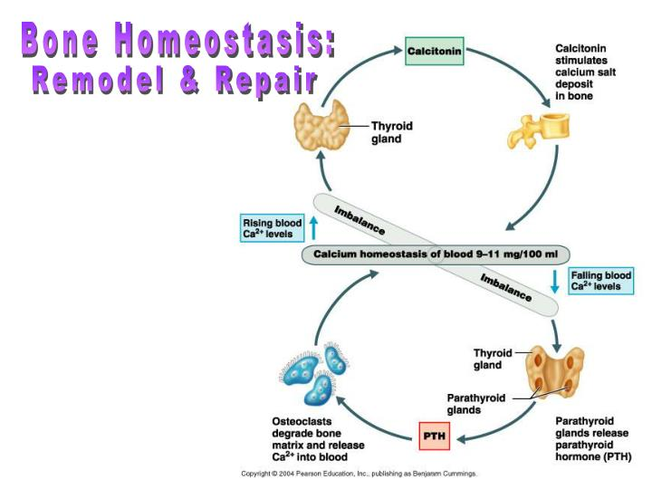Bone Homeostasis: