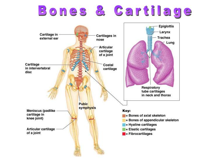 Bones & Cartilage