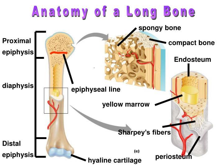 Anatomy of a Long Bone