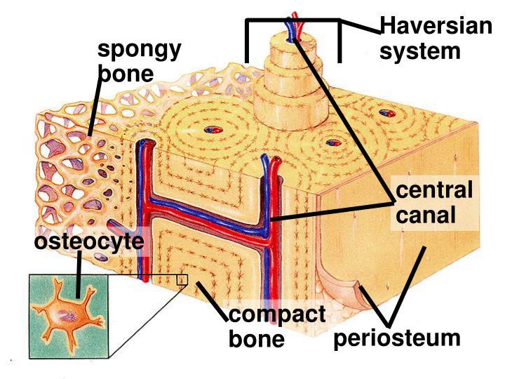 Haversian system