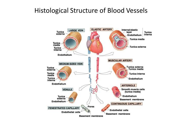 Histological Structure of Blood Vessels