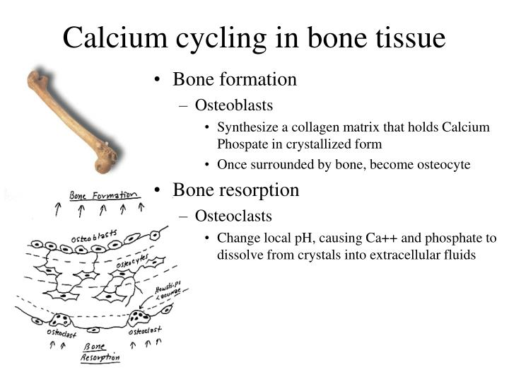 Calcium cycling in bone tissue