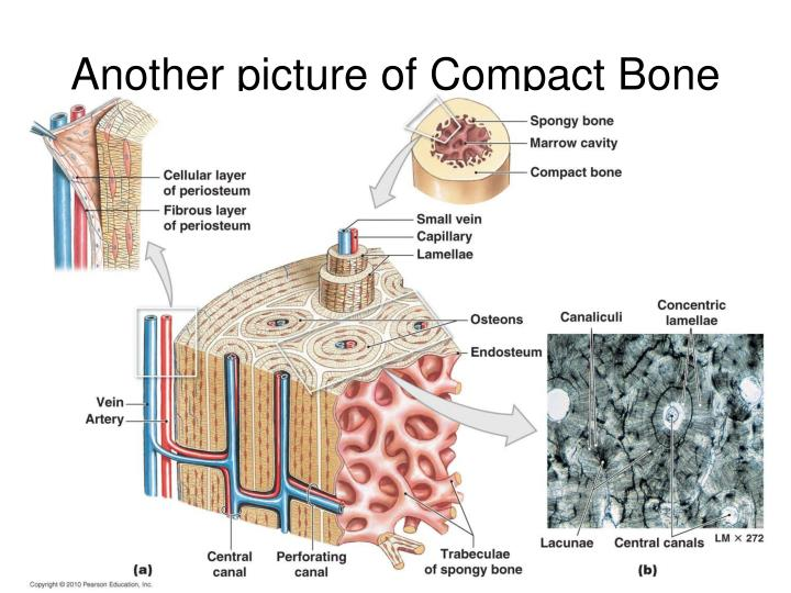 Another picture of Compact Bone