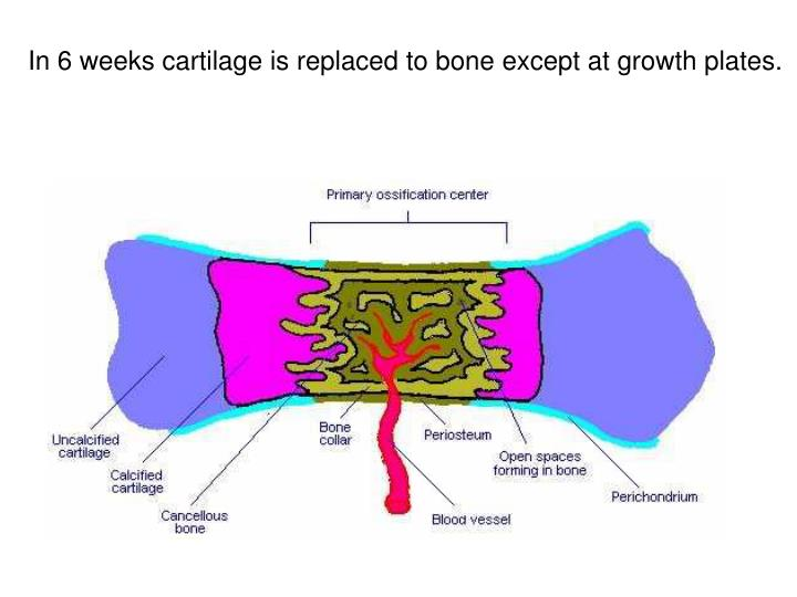 In 6 weeks cartilage is replaced to bone except at growth plates.