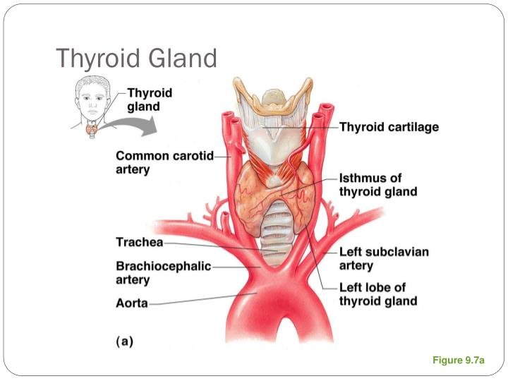 Thyroid gland1