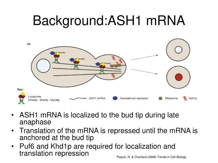Background:ASH1 mRNA