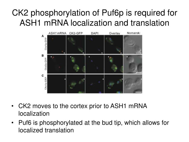 CK2 phosphorylation of Puf6p is required for ASH1 mRNA localization and translation