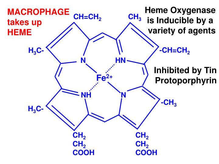 Heme Oxygenase