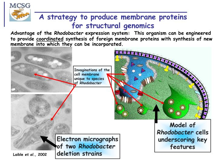 A strategy to produce membrane proteins for structural genomics