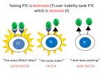 tasting ptc is dominant t over inability taste ptc which is recessive t7