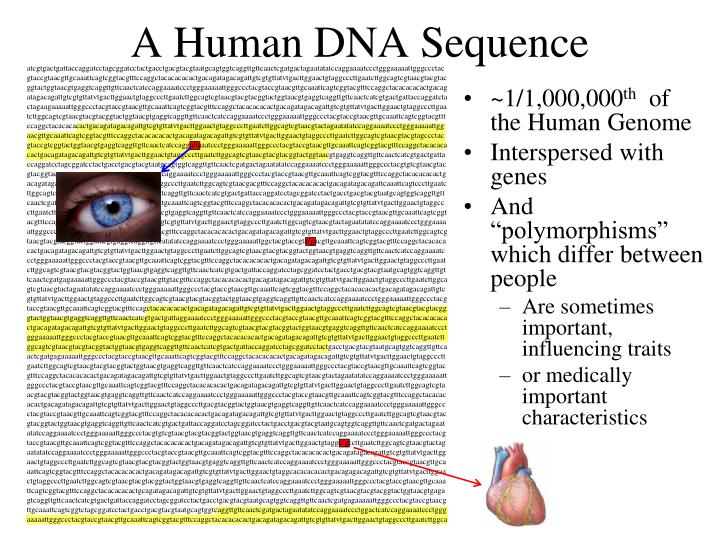 A Human DNA Sequence