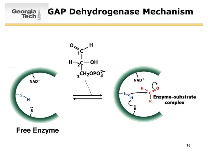 GAP Dehydrogenase Mechanism