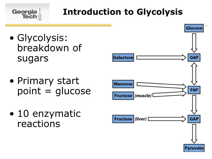 Introduction to glycolysis