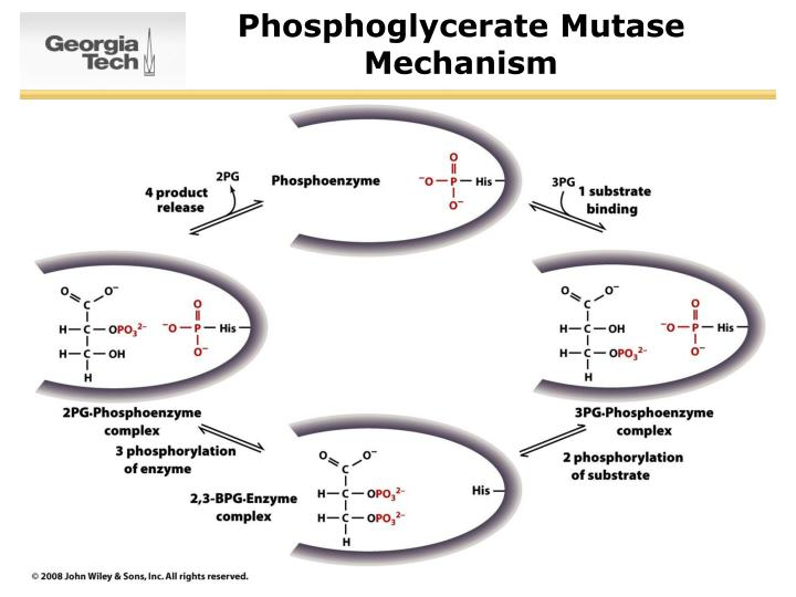 Phosphoglycerate Mutase Mechanism
