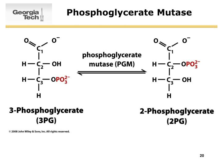 Phosphoglycerate Mutase