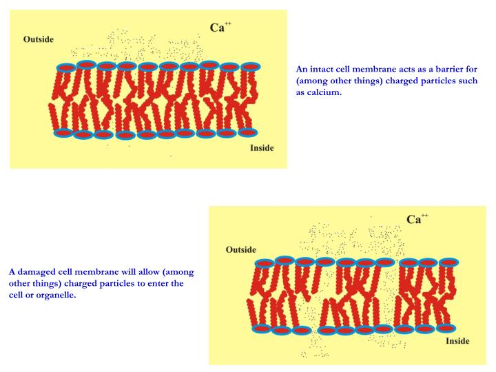 An intact cell membrane acts as a barrier for (among other things) charged particles such as calcium.