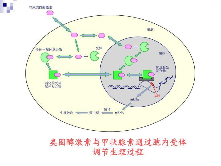 类固醇激素与甲状腺素通过胞内受体调节生理过程