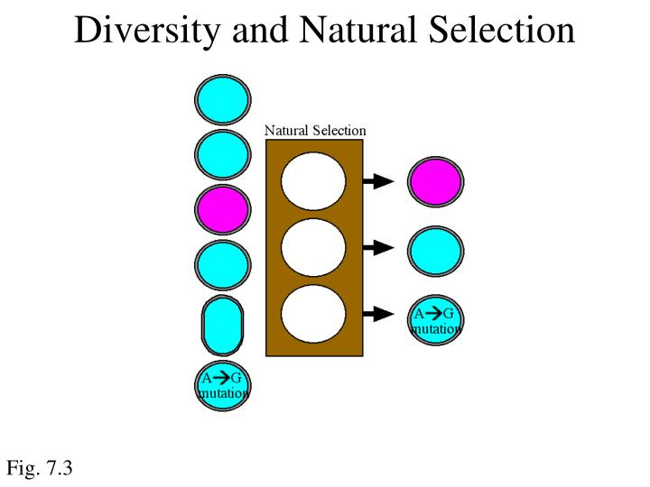 Diversity and Natural Selection