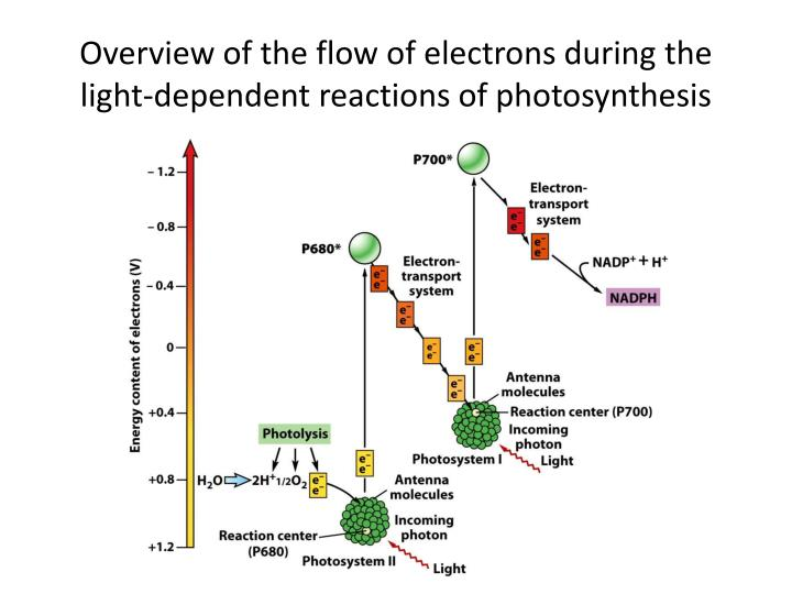 Overview of the flow of electrons during the light-dependent reactions of photosynthesis