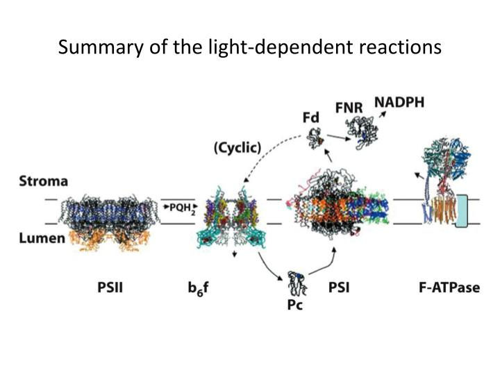 Summary of the light-dependent reactions