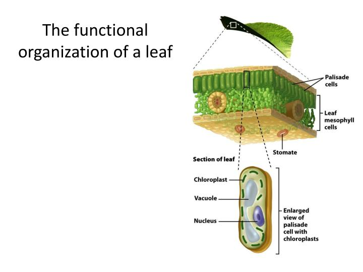The functional organization of a leaf