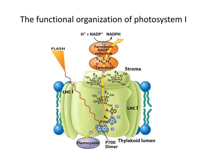 The functional organization of photosystem I