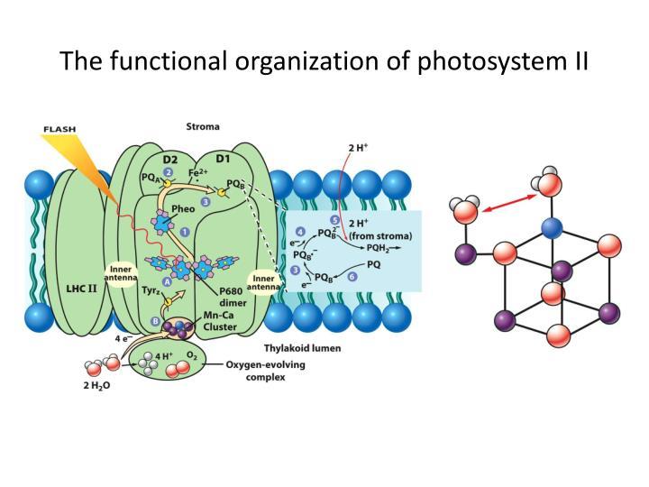 The functional organization of photosystem II