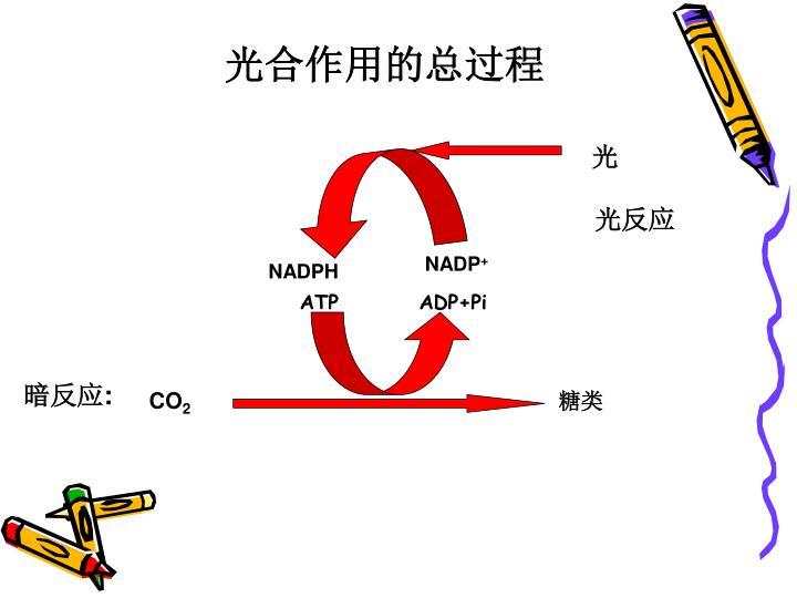 光合作用的总过程