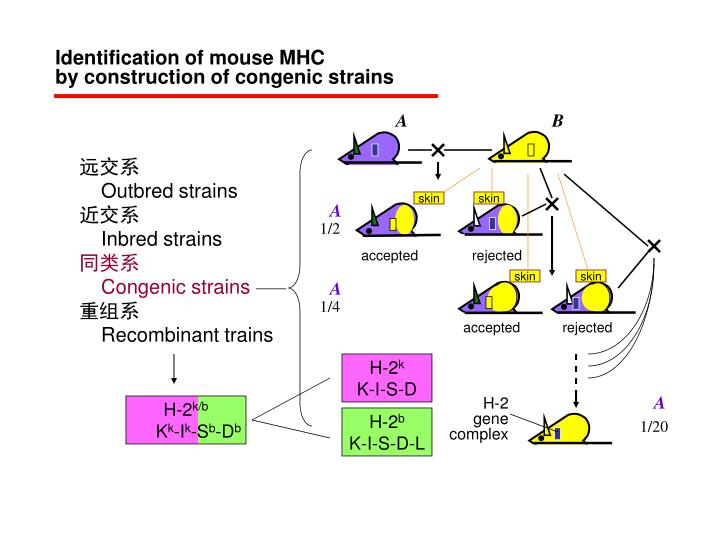 Identification of mouse MHC