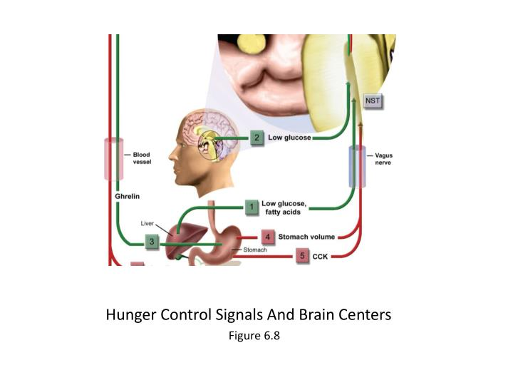 Hunger Control Signals And Brain Centers