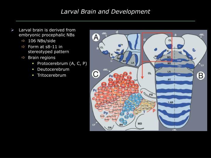 Larval Brain and Development
